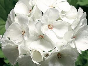 Geranium - flor