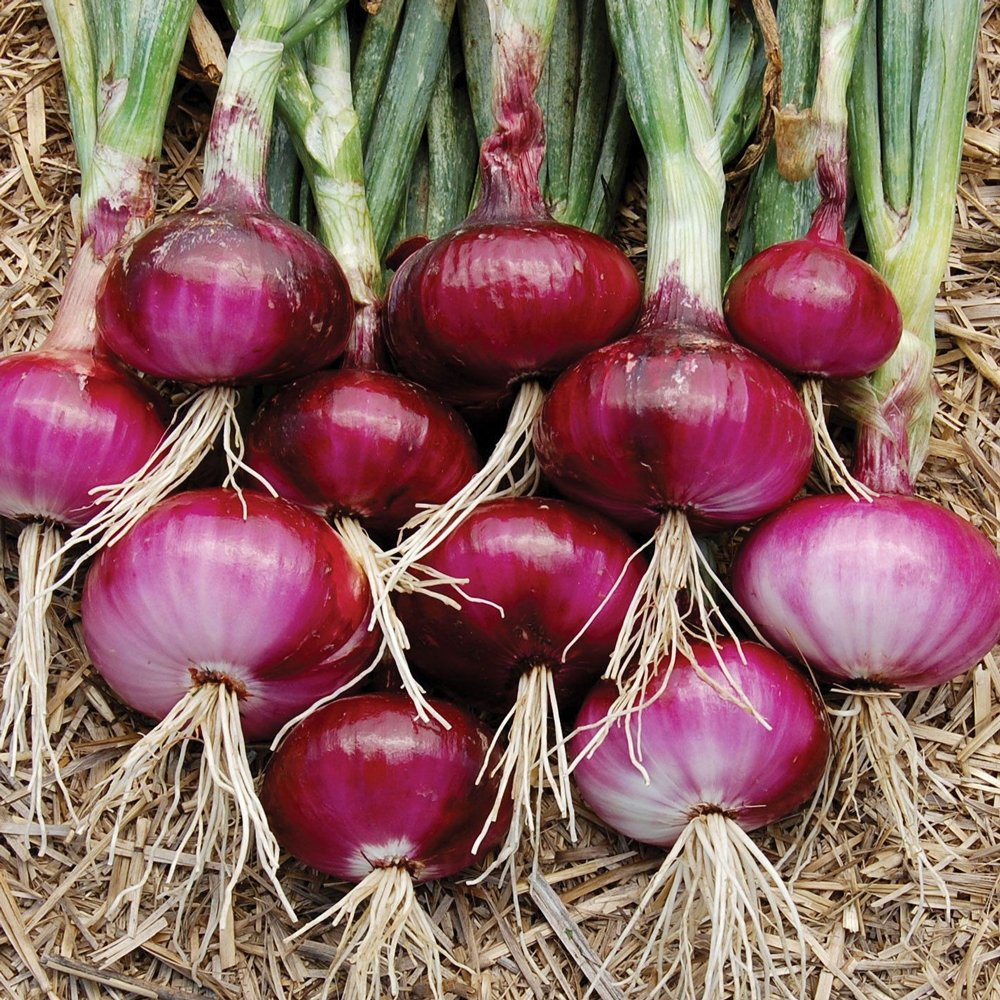 Red Burgundy Onion Plants For Sale