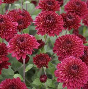Red climax perennial mum plant mightylinksfo