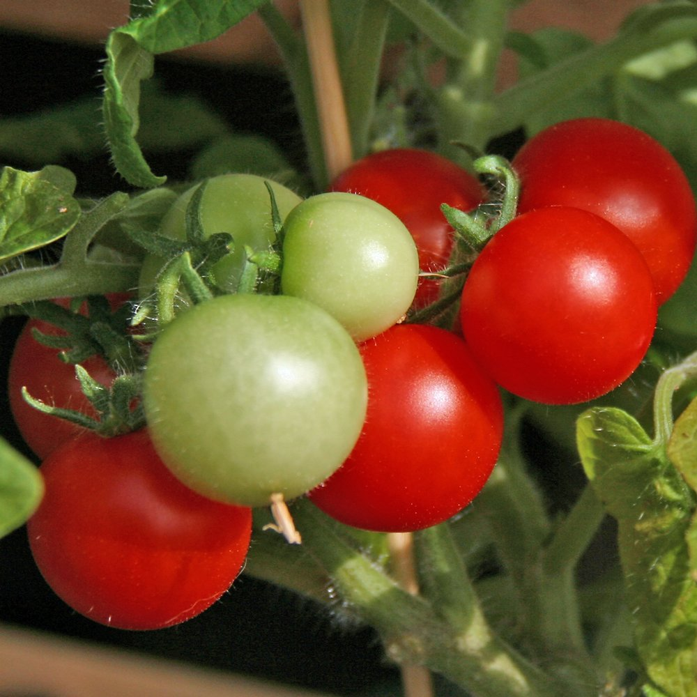 Red Robin Tomato Plants For Free