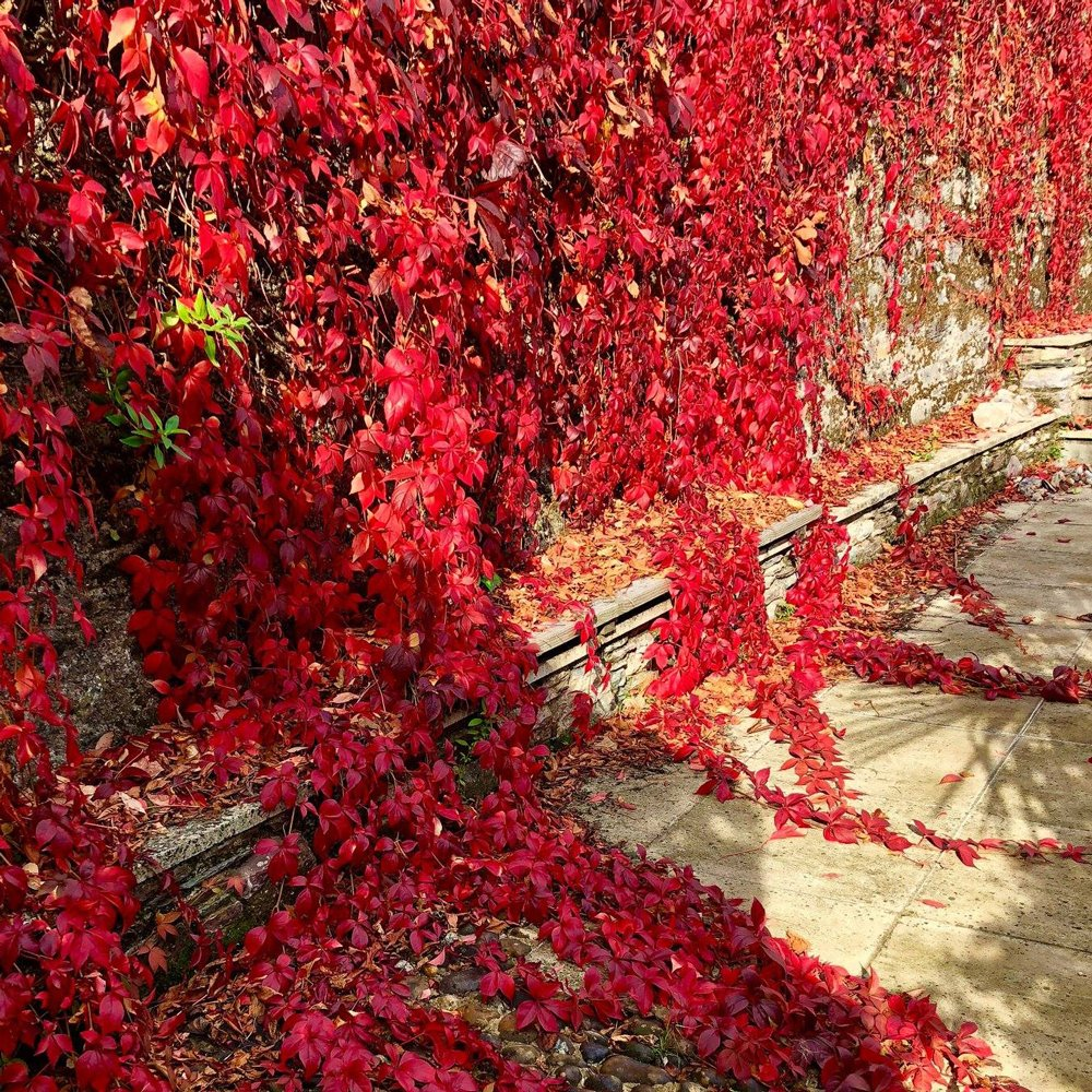 Red Wall Virginia Creeper Plants For Sale Free Shipping,White Cloud Mountain Minnow Fry
