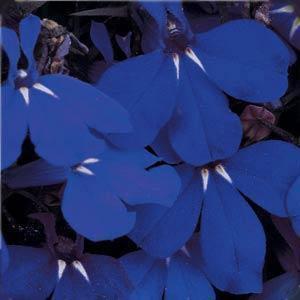 Trailing Midnight Blue Lobelia Plant Growjoycom
