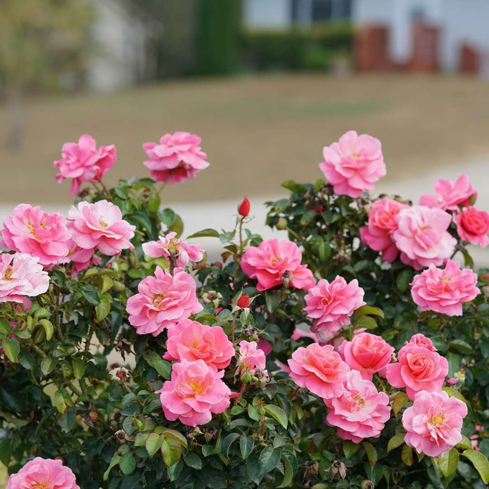 Livin La Vida Rose Plants For Sale Free Shipping