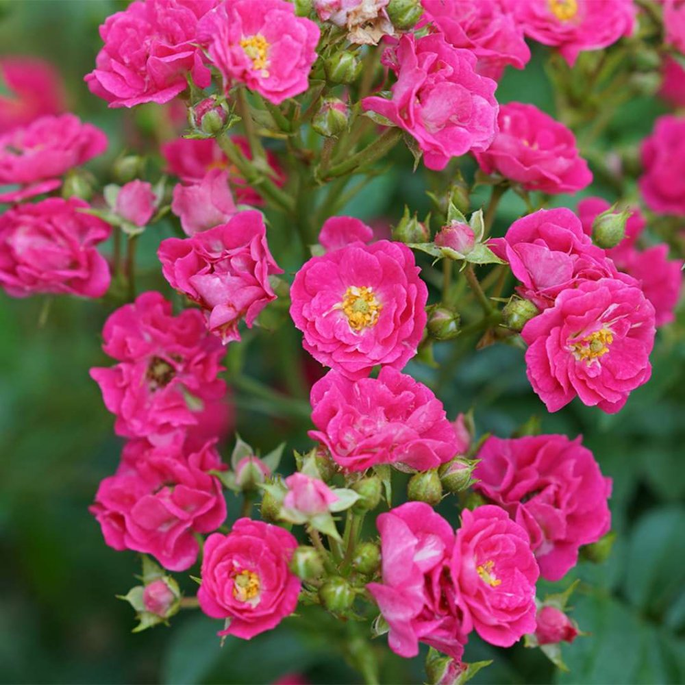 Oso Easy Peasy Rose Plants For Sale Free Shipping