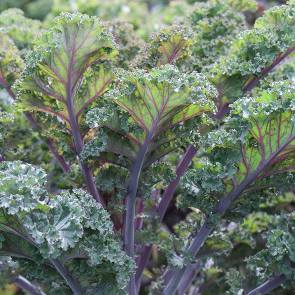 Planting Kale In Pots: Scarlet Kale Plants For Sale