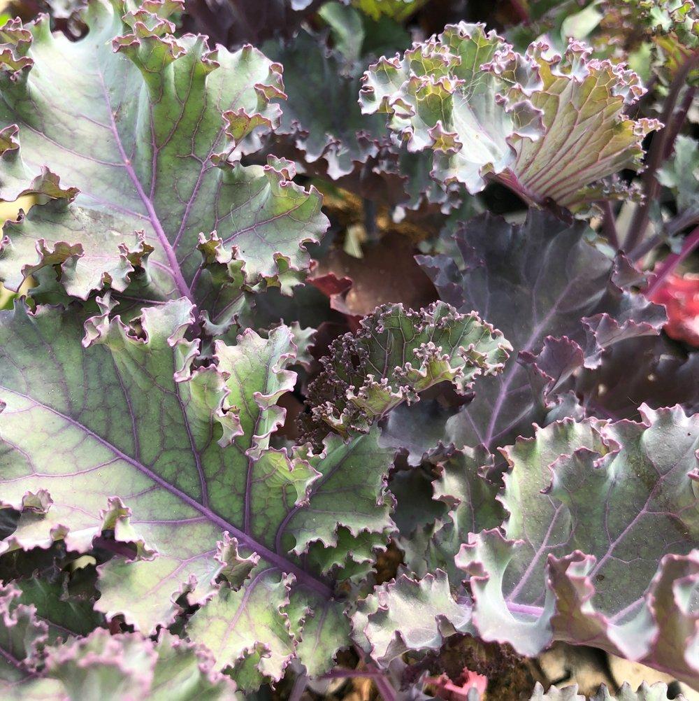 Planting Kale In Pots: Scarlet Kale (Live Plant) 2.5-Inch Pot