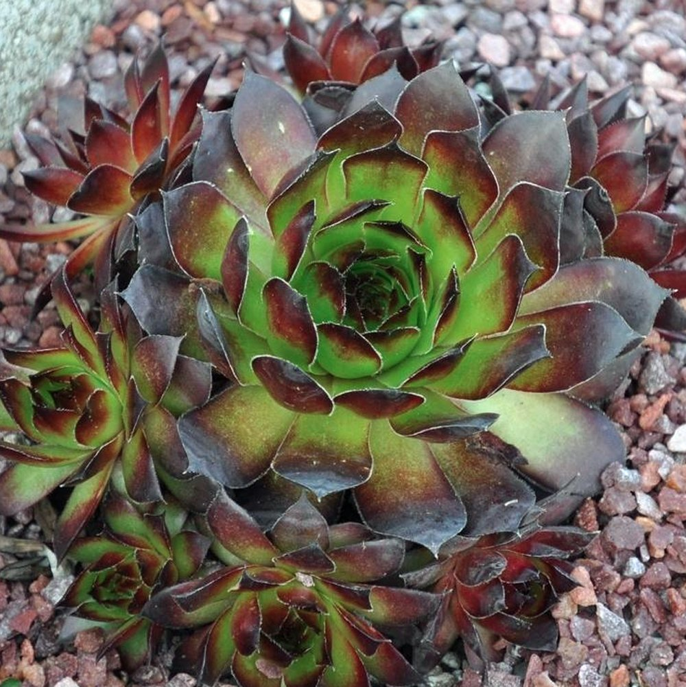 "Picture of 2 (TWO) Hens and Chicks aka Sempervivum Black Live Plant Fit 4"" Pot"