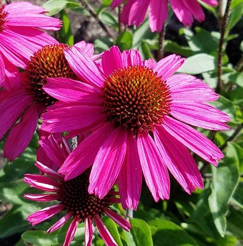 Echinacea sensation pink coneflower plant 25 inch pot mightylinksfo