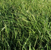 sheep fescue grass seed for sale