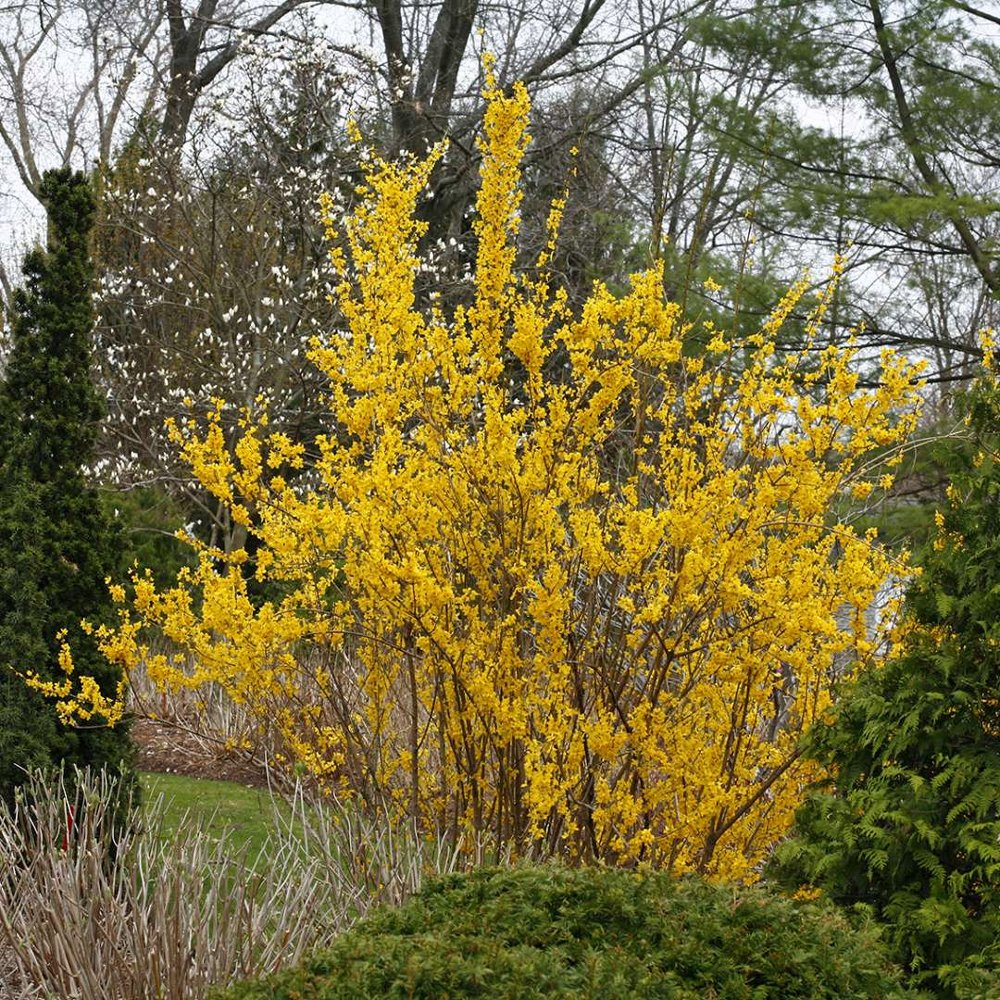 Show Off Forsythia Plants For Sale Free Shipping