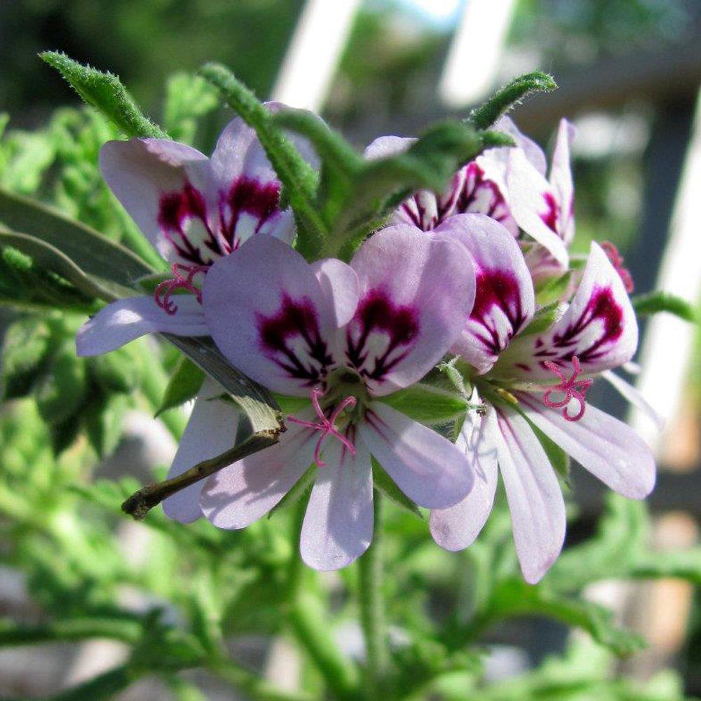 Skeleton Rose Scented Geranium Plant