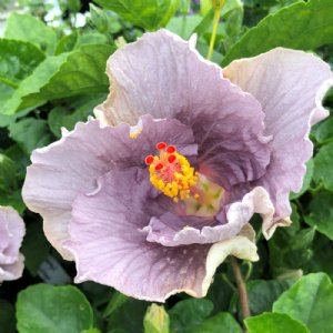 Cajun Hibiscus Plants For Sale Free Shipping