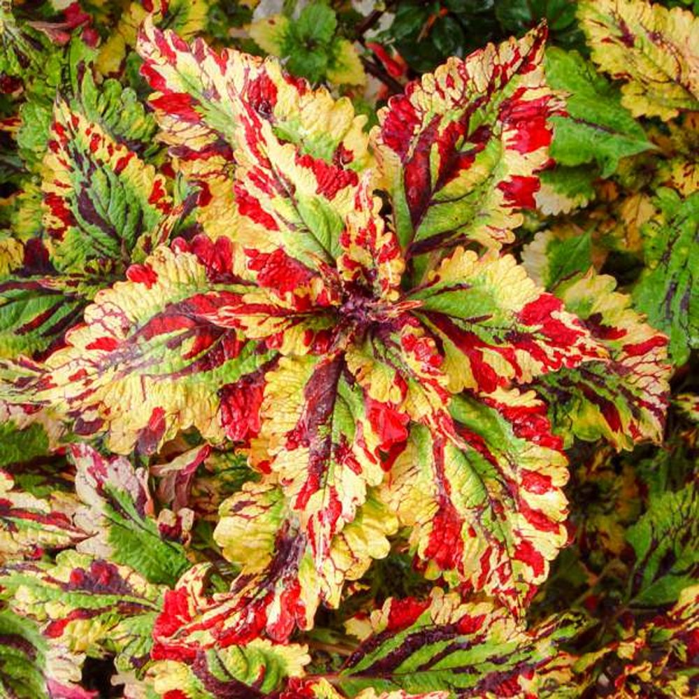 Stormy Weather Coleus Plants For Sale Free Shipping