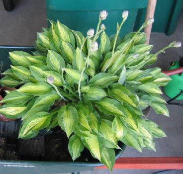 Striptease Hosta Plants For Sale Plantain Lily Free Shipping