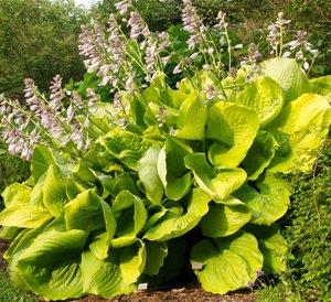 Sum And Substance Plantain Lily Hosta Plant Growjoycom