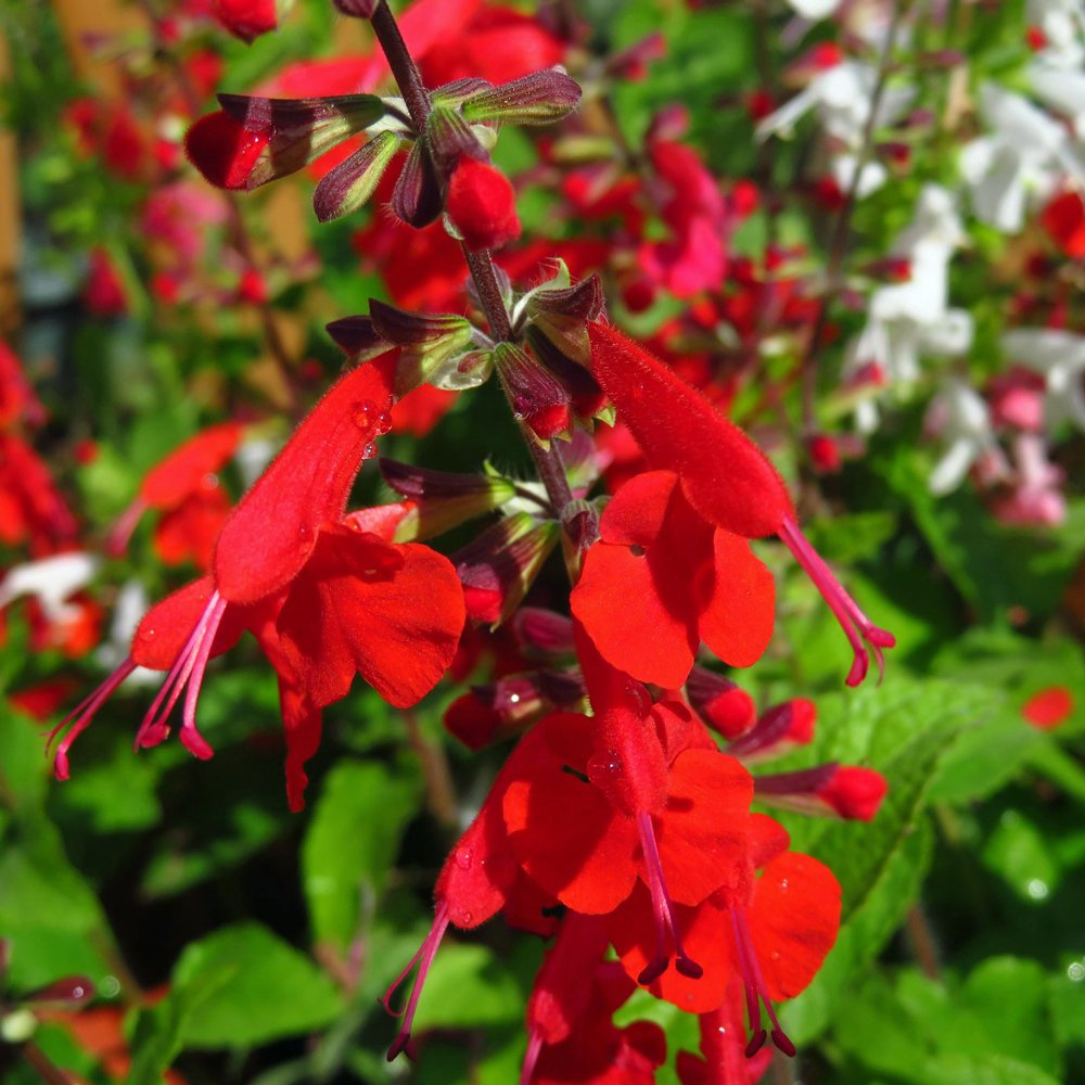 Summer Jewel Red Salvia Plants For Sale Garden Sage Free Shipping