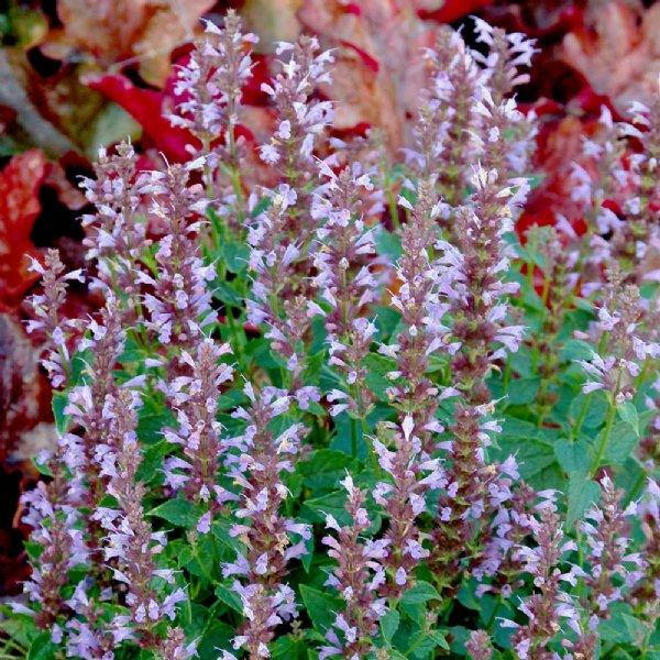 Summer Sky Agastache Plant (Hummingbird Mint)