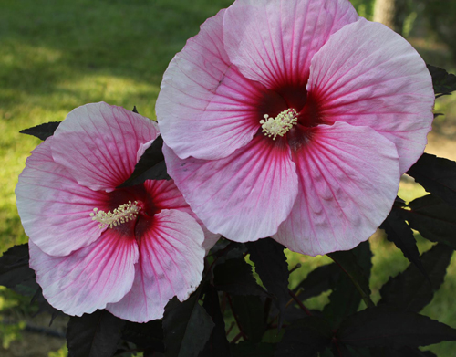 Summer Storm Hardy Hibiscus Plants For Sale Rose Mallow Free