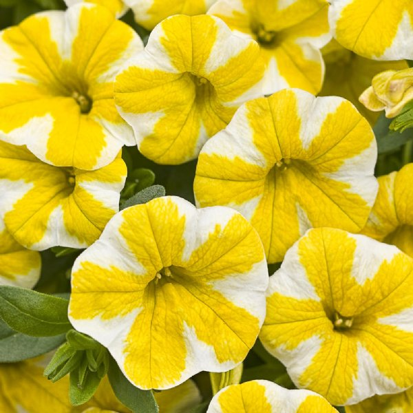 Superbells 174 Lemon Slice Calibrachoa Plant Free Shipping