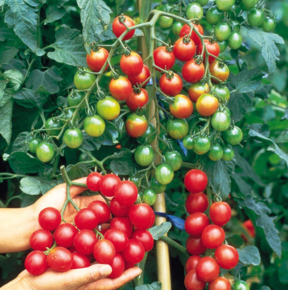 Sweet Million - Cherry Tomato Plant | GrowJoy.com