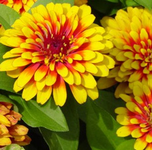 Swizzle scarlet and yellow zinnia plant swizzle scarlet and yellow zinnia live plant 25 inch pot mightylinksfo Choice Image