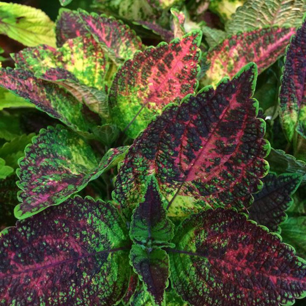 Tapestry Coleus Plant Free Shipping