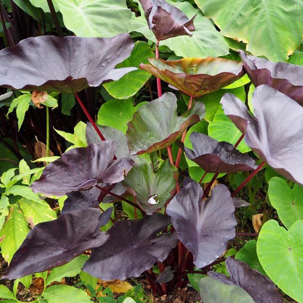 Tea Party Colocasia Plants For Sale Elephant Ears Free Shipping