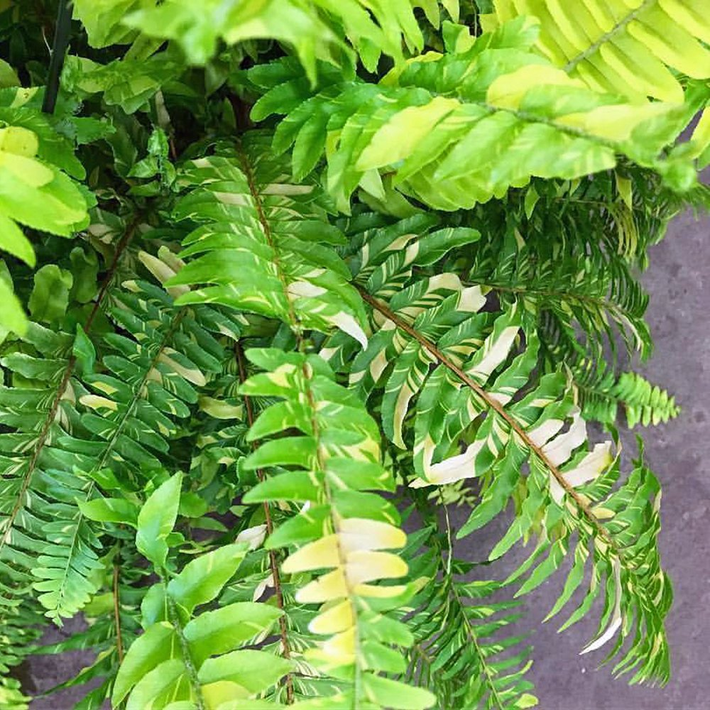 Tiger Stripe Fern Plants For Sale Free Shipping