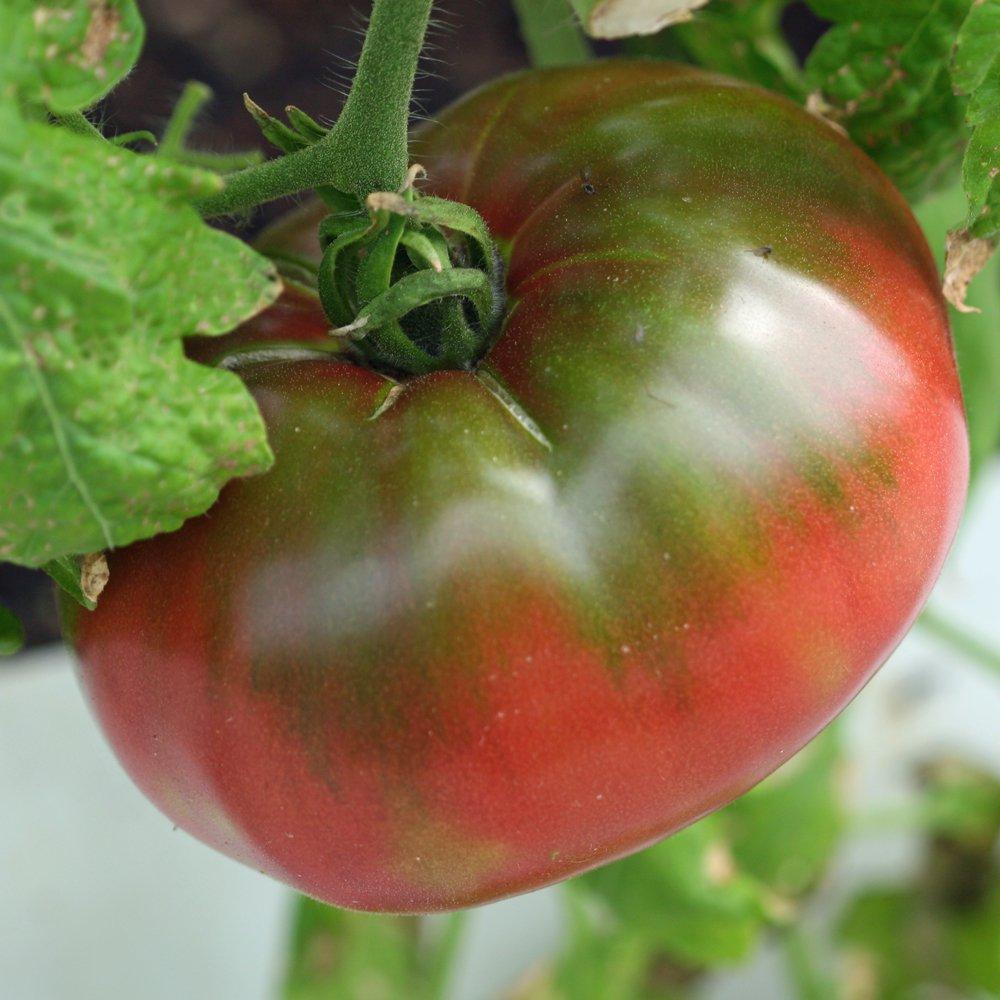 Green Cherokee Tomato Seeds FREE SHIPPING