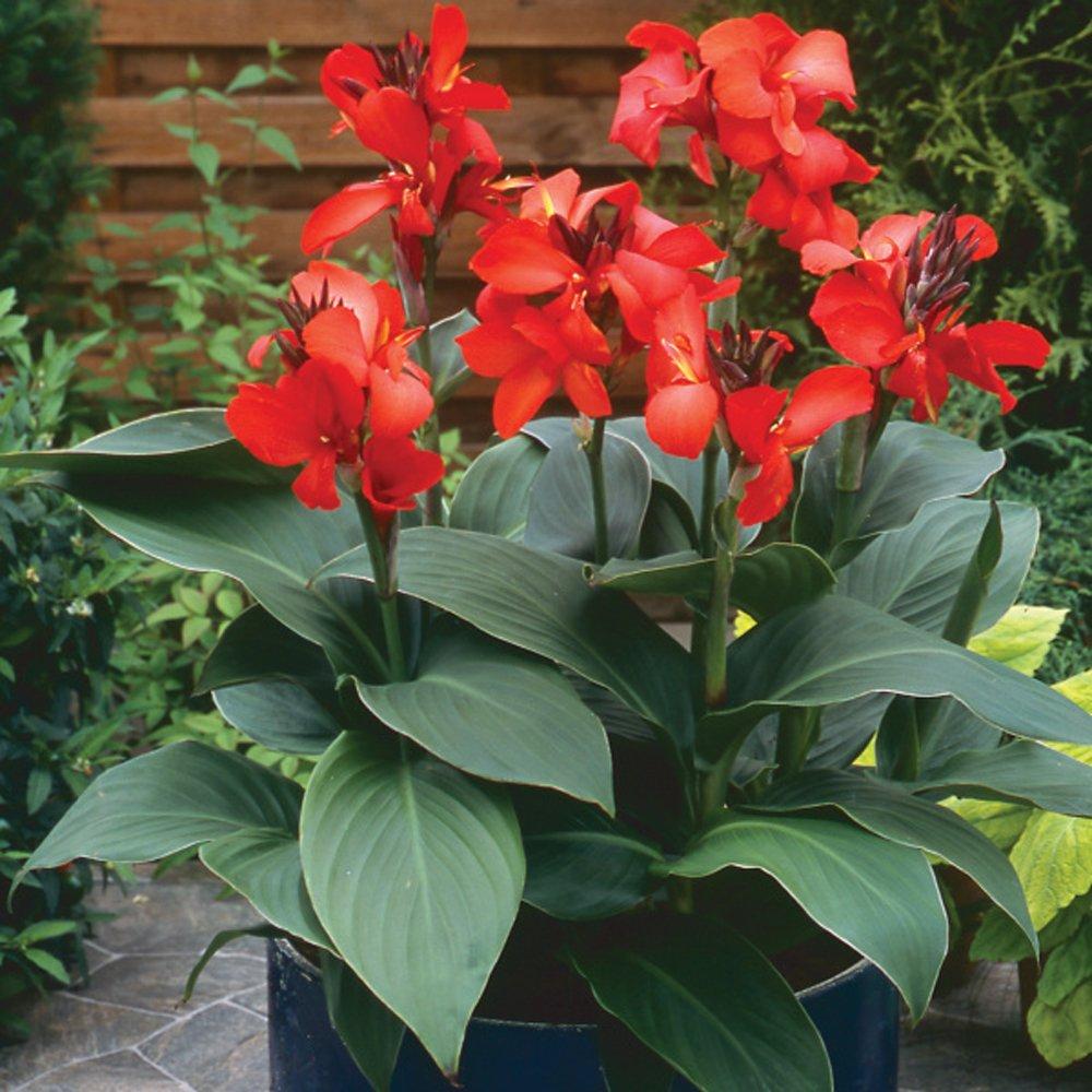 Toucan Dark Orange Canna Lily Plant Free Shipping