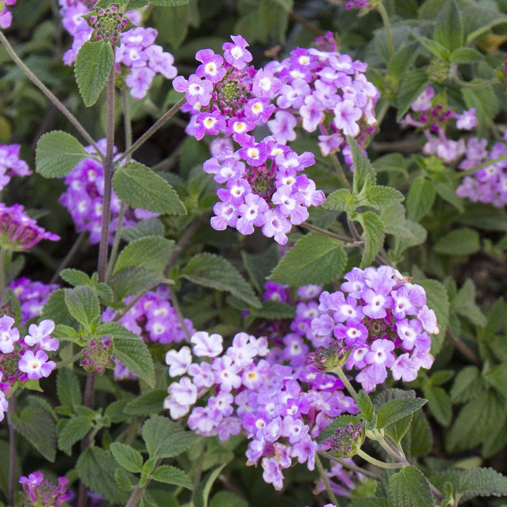 Trailing Lavender Lantana Plants For Sale Free Shipping
