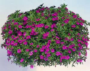 Million bells trailing pink calibrachoa live plant 25 inch pot mightylinksfo