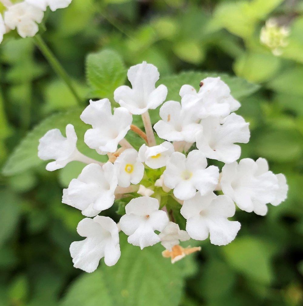 Picture of Live Lantana white Espalier Plant Fit 2 Gallon Pot