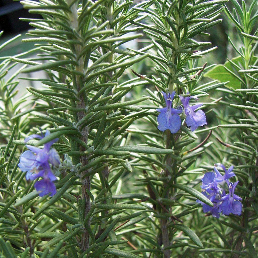 Tuscan Blue Rosemary Herb Plants For Sale Free Shipping
