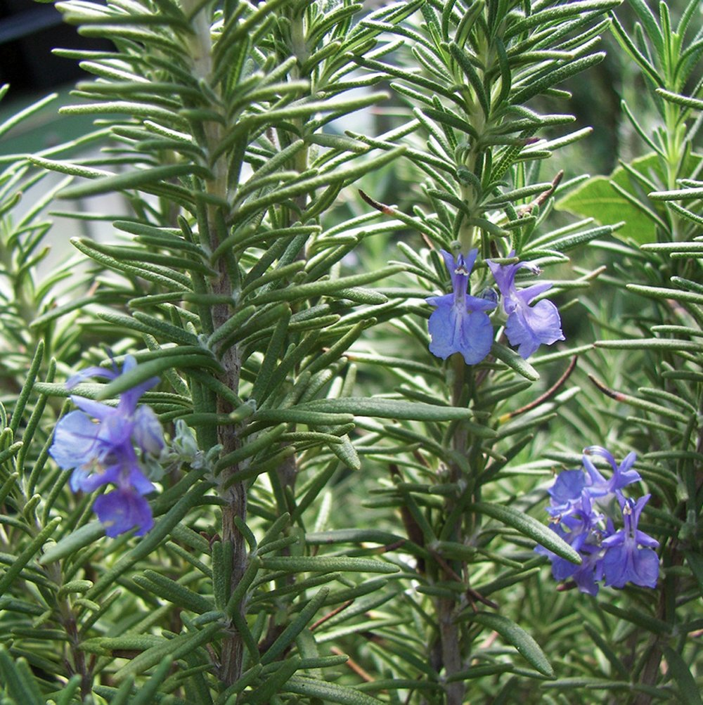Picture of Live Rosemary Tuscan Blue aka Rosmarinus officinalis 'Tuscan Blue' Plant Fit 1GAL Pot