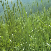 tuukka timothy grass seed for sale