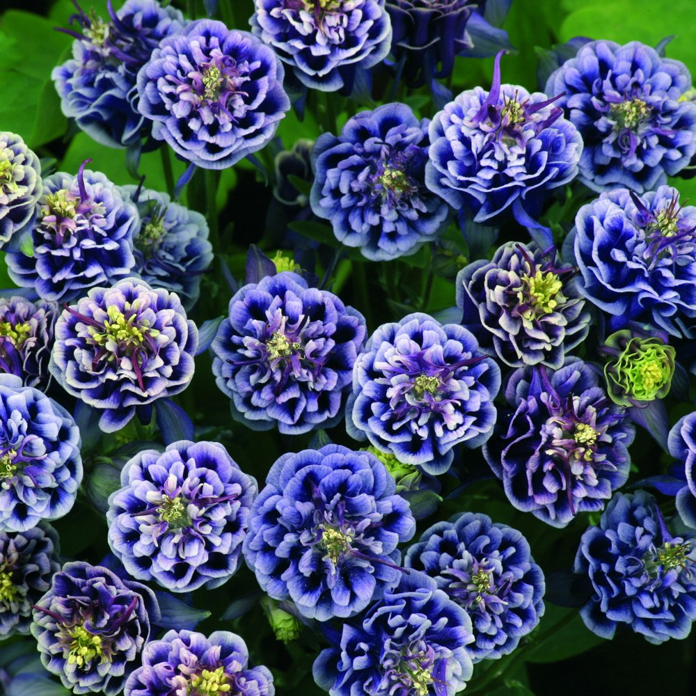 Winky Double Dark Blue And White Aquilegia Plants For Sale