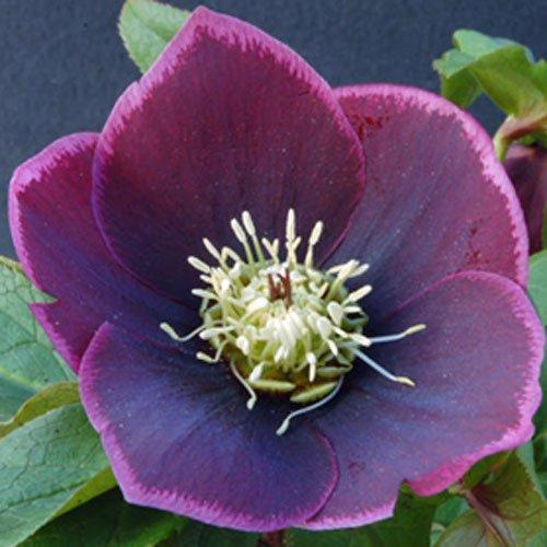 winter jewels u00ae amethyst glow helleborus plants for sale