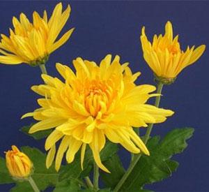 Yellow Giant Perennial Mum Plant Growjoy