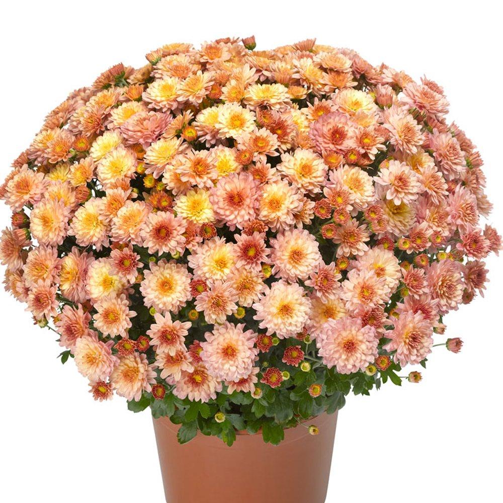 chelsey coral yoder garden mum plant - Garden Mum
